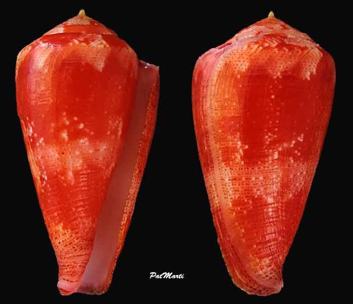 Conus (Rhizoconus) pertusus elodieallaryae  Cossignani, 2013 Rhizoc10