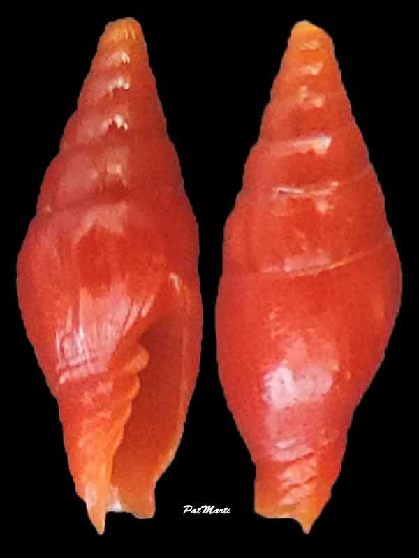Protoelongata dekkersi - (Herrmann, Stossier & Salisbury, 2014)  Vexill10