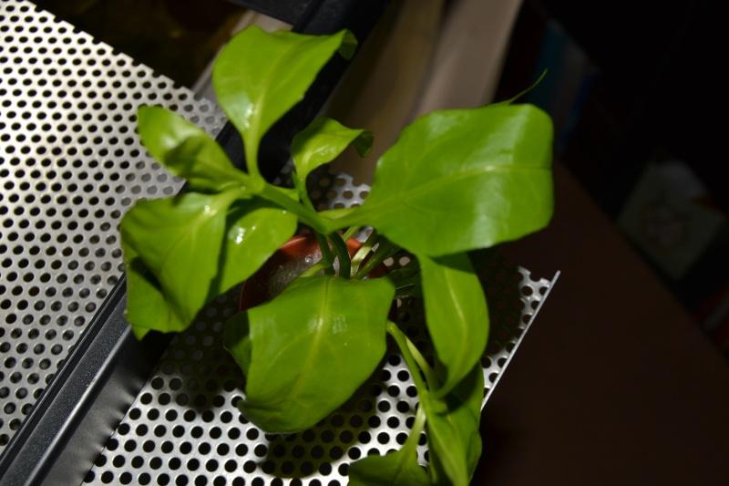 Identification de plantes Dsc_0210