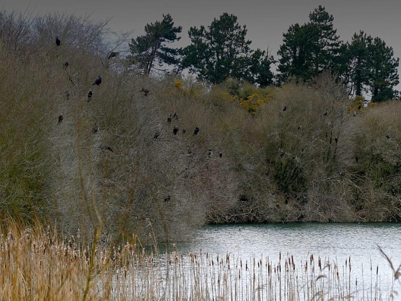 Colonie de grands cormorans P1050318