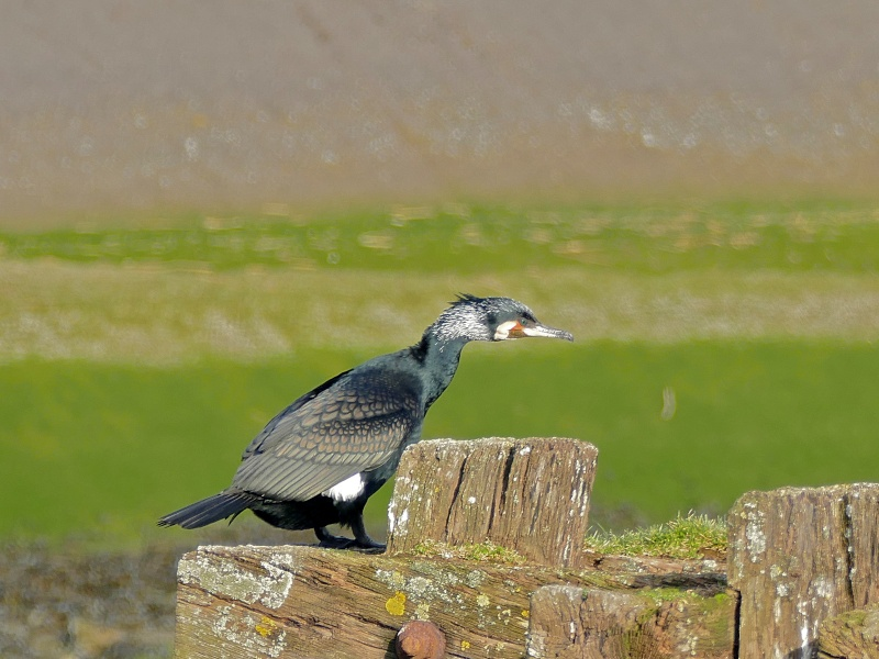 Colonie de grands cormorans P1050319