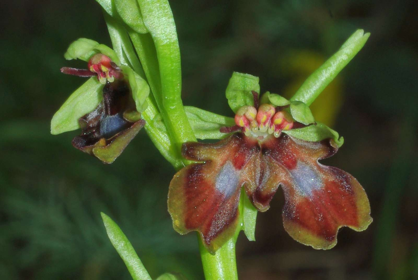 Classer les Ophrys français - Page 3 Imgp6710