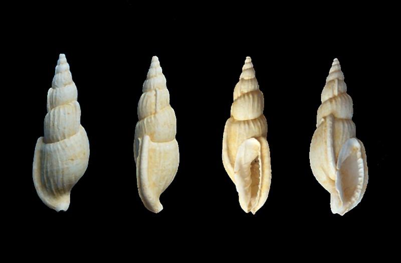 Cancellariidae - † Plesiotriton jacquesponsi (PACAUD, LEDON & LOUBRY, 2015) - Bartonien inf. 0051210