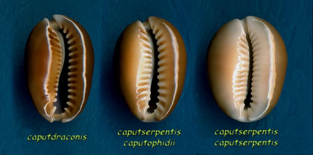 Monetaria caputserpentis caputserpentis - (Linnaeus, 1758) Caputd13