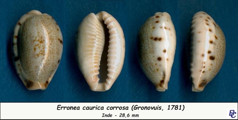 Erronea caurica corrosa - (Gronovius, 1781) voir Erronea caurica - (Linnaeus, 1758) Cauric11
