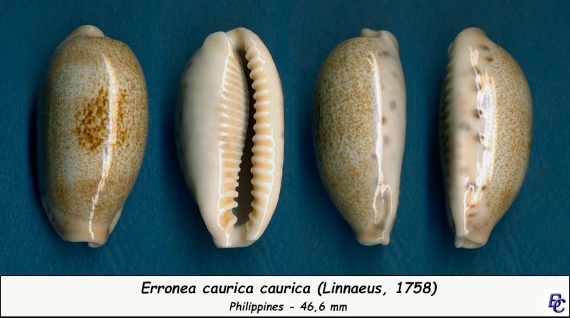 Erronea caurica caurica - (Linnaeus, 1758) Cauric13