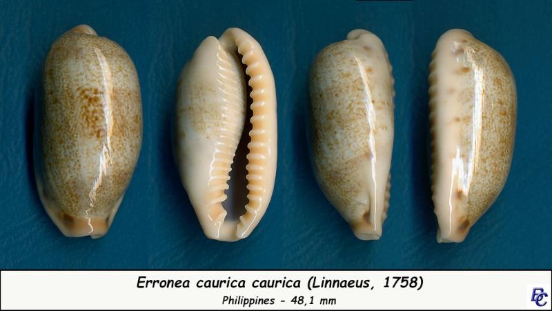 Erronea caurica caurica - (Linnaeus, 1758) Cauric14