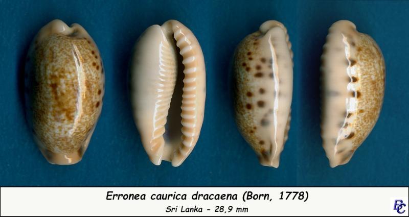 Erronea caurica dracaena - (Born, 1778) Cauric15