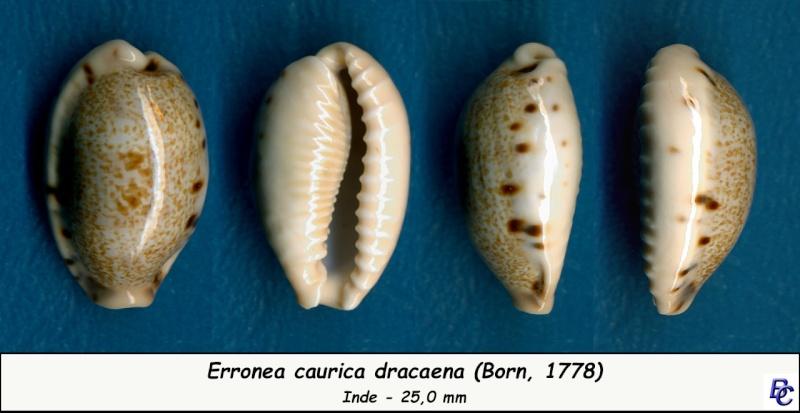 Erronea caurica dracaena - (Born, 1778) Cauric16