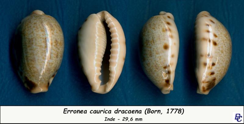 Erronea caurica dracaena - (Born, 1778) Cauric17