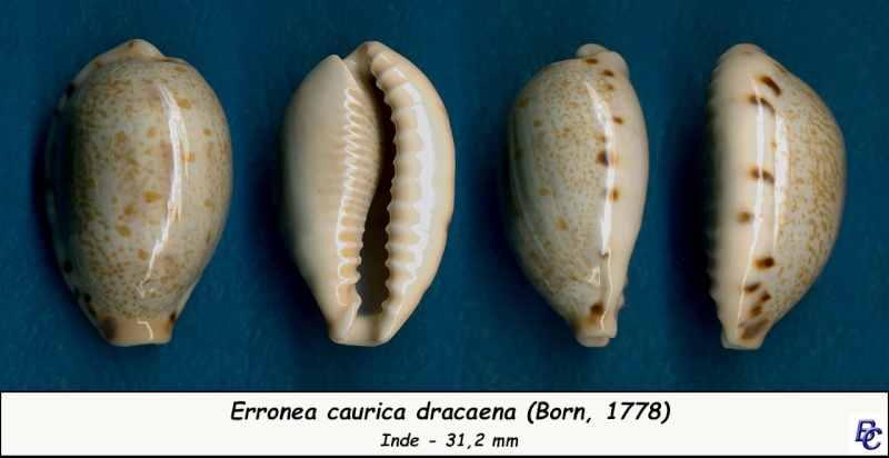 Erronea caurica dracaena - (Born, 1778) Cauric18