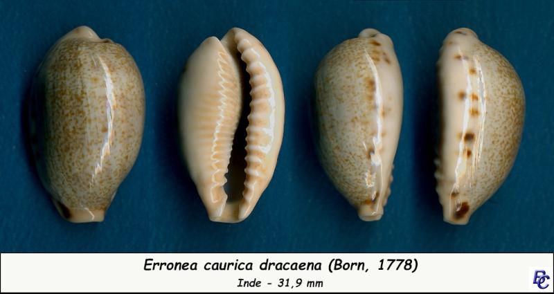 Erronea caurica dracaena - (Born, 1778) Cauric19