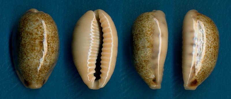 Erronea caurica blaesa (Iredale, 1939) Cauric20