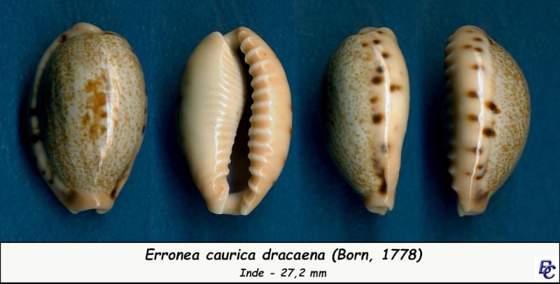 Erronea caurica dracaena - (Born, 1778) Cauric21