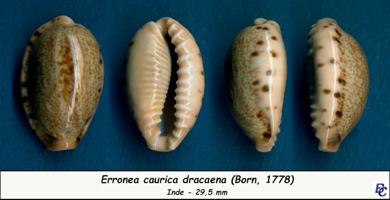 Erronea caurica dracaena - (Born, 1778) Cauric22