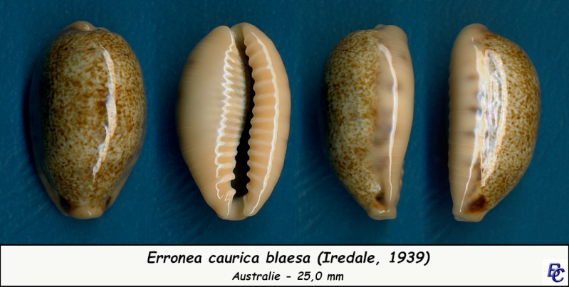 Erronea caurica blaesa (Iredale, 1939) Cauric24