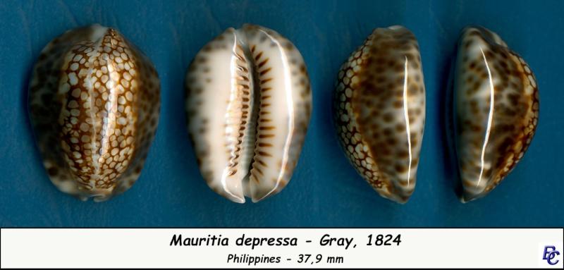 Mauritia depressa - J.E. Gray, 1824 - Page 2 Depres10