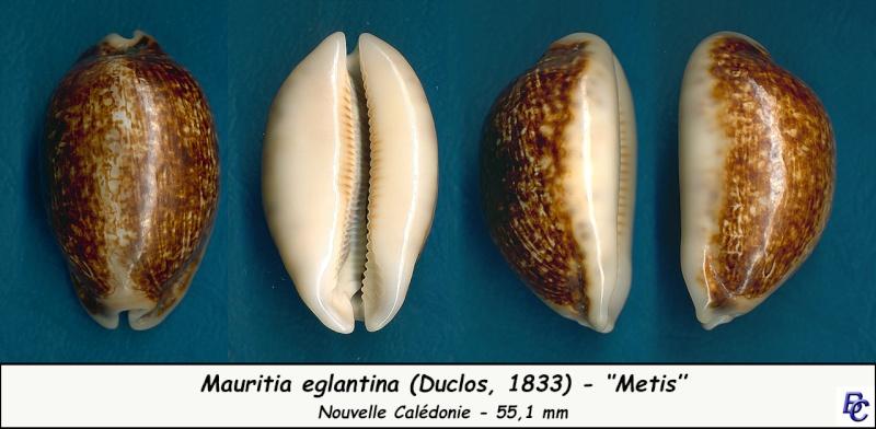 Mauritia eglantina metis - (Duclos, 1833) Eglant11