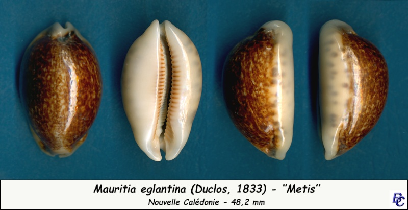 Mauritia eglantina metis - (Duclos, 1833) Eglant12