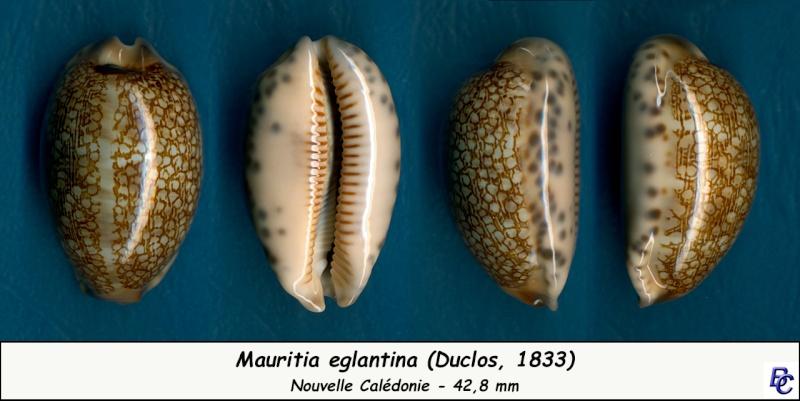 Mauritia eglantina - (Duclos, 1833) - Page 2 Eglant15