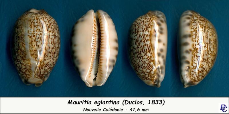 Mauritia eglantina - (Duclos, 1833) - Page 2 Eglant16