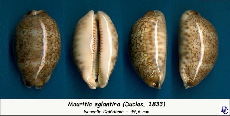 Mauritia eglantina - (Duclos, 1833) - Page 2 Eglant17