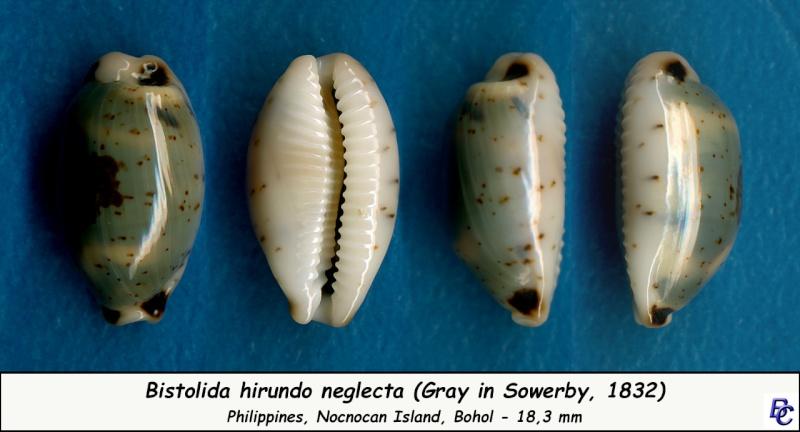 Bistolida hirundo neglecta - (J.E. Gray in G. B. Sowerby I, 1832) Hirund10