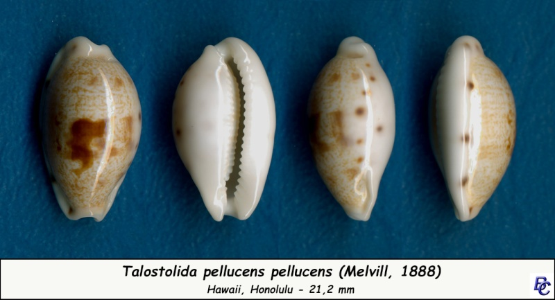 Talostolida pellucens pellucens - (Melvill, 1888) - Page 3 Pelluc10