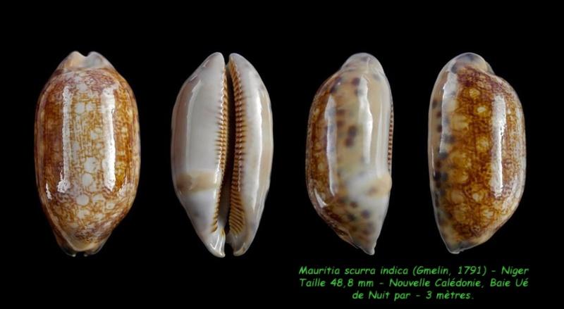 Mauritia scurra scurra - (Gmelin, 1791)  Scurra11