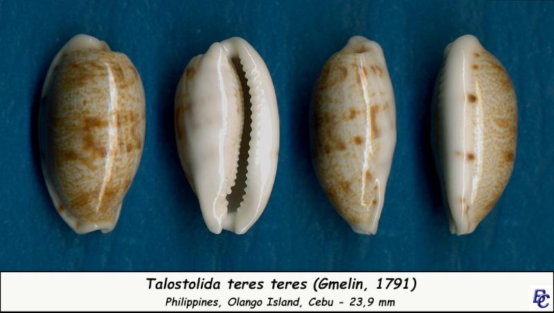 Talostolida teres teres - (Gmelin, 1791)  - Page 2 Teres_13