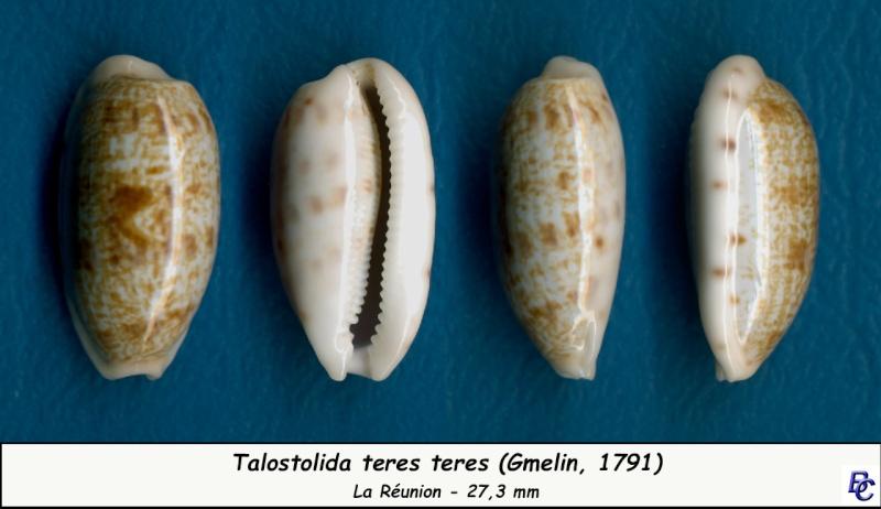 Talostolida teres teres - (Gmelin, 1791)  - Page 2 Teres_15