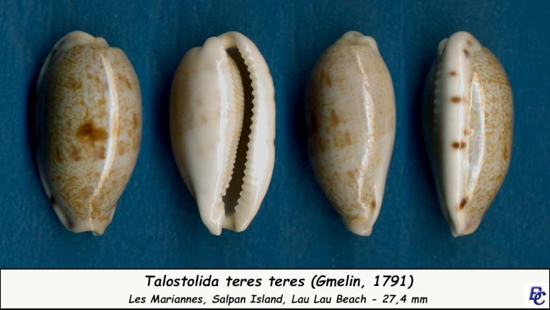 Talostolida teres teres - (Gmelin, 1791)  - Page 2 Teres_16