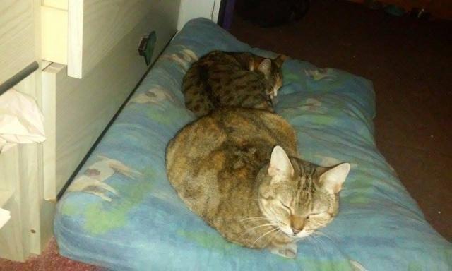 Ava tricolore et Amber tricolore et blanche - nées en 2011 e 12825611