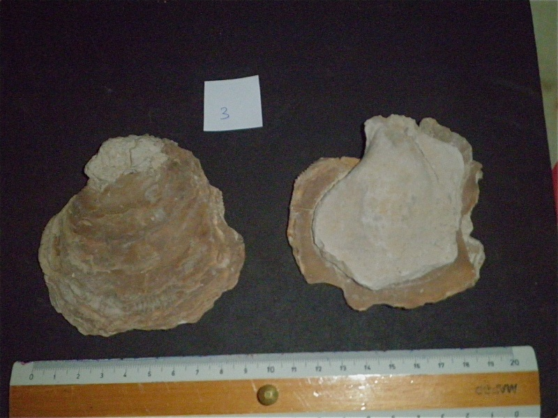 Huîtres et microfossiles charentais  P3221913