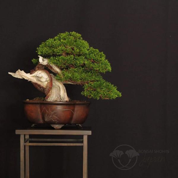 Bonsai Shohin Genyvr10