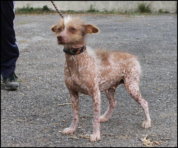 MASHA  croisée chien nu du Mexique Img_3816