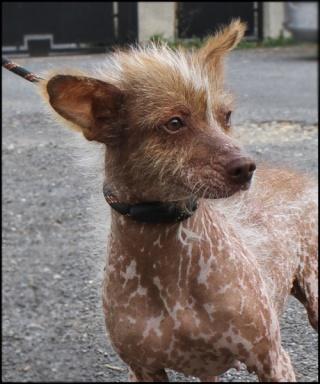 MASHA  croisée chien nu du Mexique Img_3817