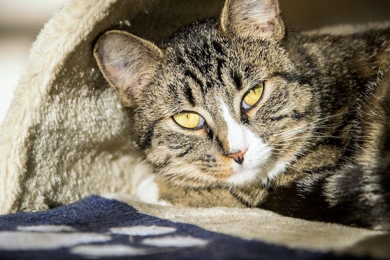 josette - Josette, chatonne tigrée type européen, née en juin 2014 11112910