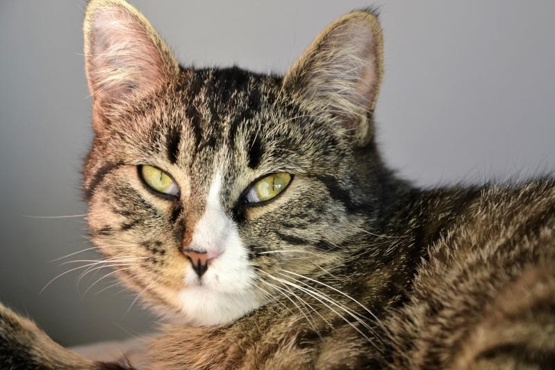 josette - Josette, chatonne tigrée type européen, née en juin 2014 _dsc6710