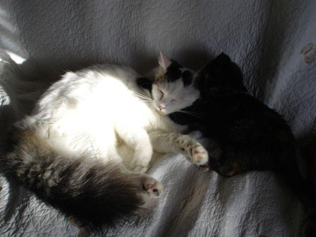 LOUKOUM, chaton Européen  blanc tacheté, à poils longs, né le 20/03/2015 Dsc01110