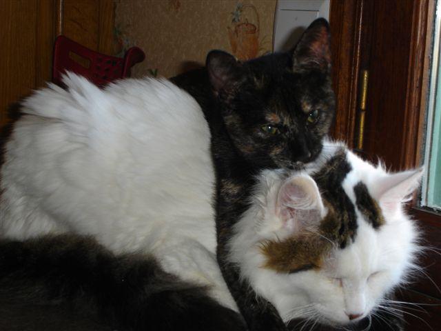 LOUKOUM, chaton Européen  blanc tacheté, à poils longs, né le 20/03/2015 Dsc01111