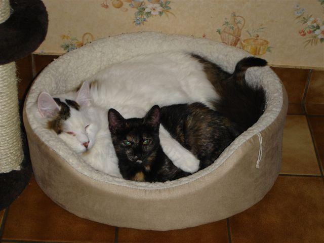 LOUKOUM, chaton Européen  blanc tacheté, à poils longs, né le 20/03/2015 Dsc01112