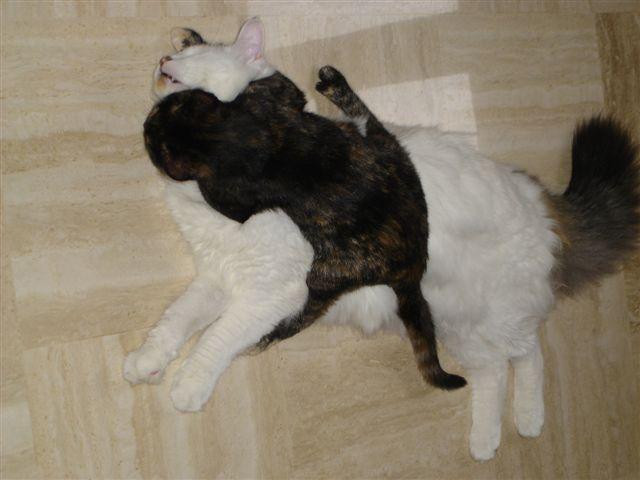 LOUKOUM, chaton Européen  blanc tacheté, à poils longs, né le 20/03/2015 Dsc01114