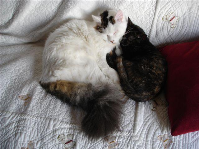 LOUKOUM, chaton Européen  blanc tacheté, à poils longs, né le 20/03/2015 Dsc01118