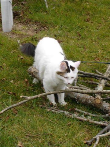 LOUKOUM, chaton Européen  blanc tacheté, à poils longs, né le 20/03/2015 Dsc01210