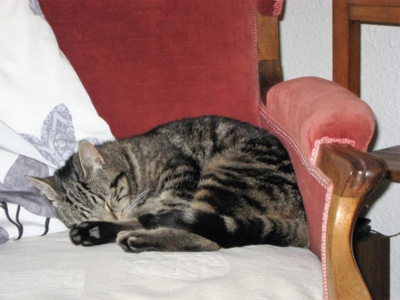 INAWA, chatte européenne tigrée, né en 2013 Juille11