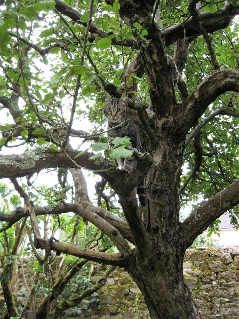 INAWA, chatte européenne tigrée, né en 2013 Juille12