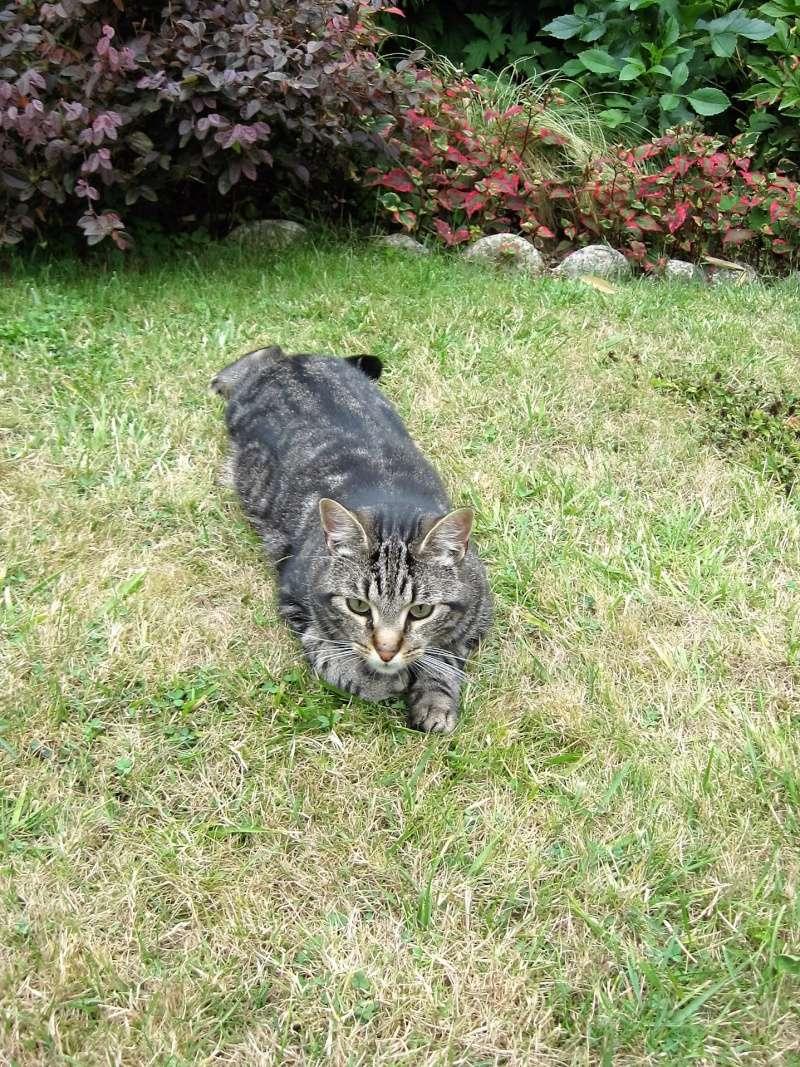 INAWA, chatte européenne tigrée, né en 2013 Juille13