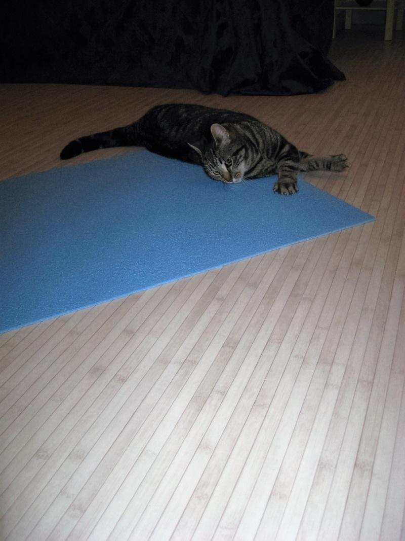 INAWA, chatte européenne tigrée, né en 2013 Pistac13
