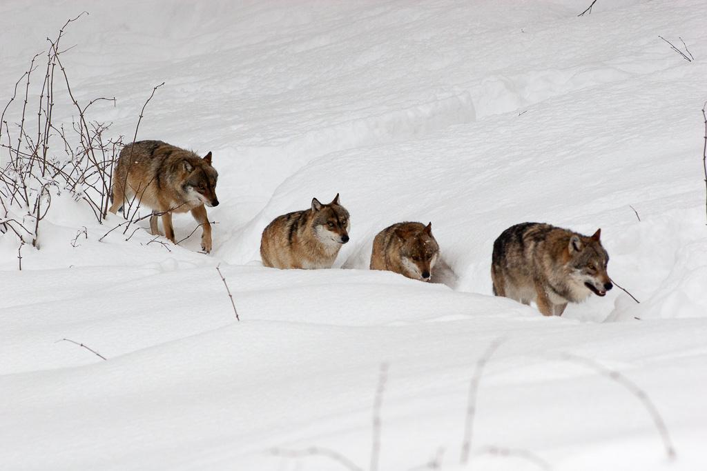 Déplacement d'une meute de loups -2mg0410